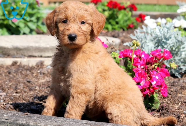 Penny Goldendoodle 1