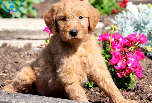 Penny Goldendoodle 2