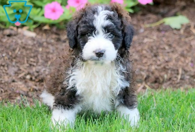 Petey-Poodle-Mixed-Breed-Dog
