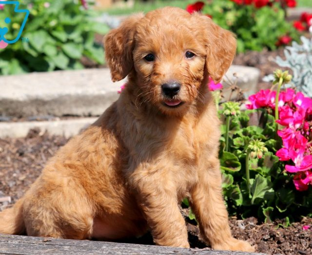 Goldendoodle Puppies For Sale | Puppy Adoption | Keystone Puppies
