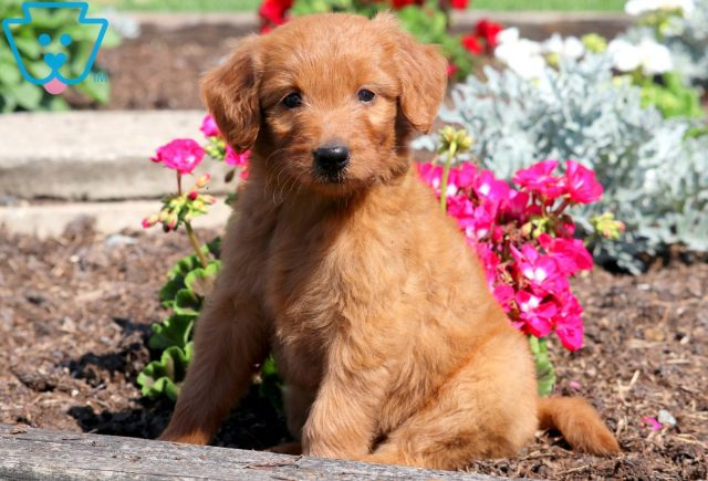 Pretty Goldendoodle 1