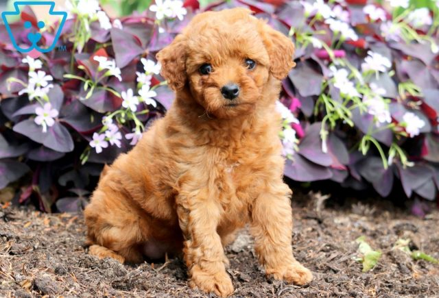 Pretty Toy Goldendoodle 1
