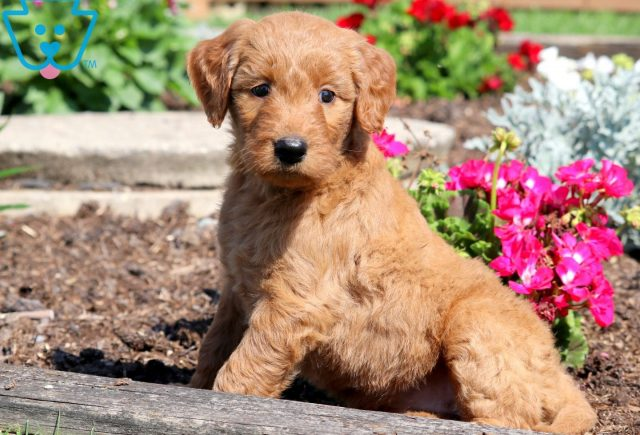Princess Goldendoodle 1