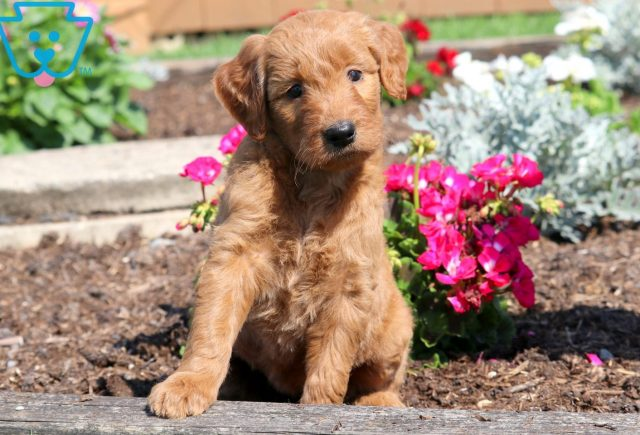 Princess Goldendoodle 2