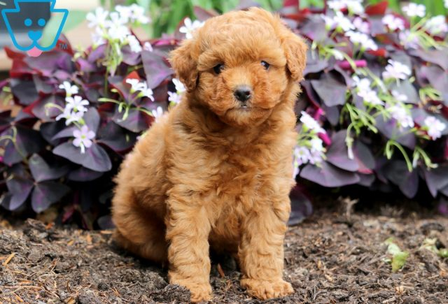 Pudge Toy Goldendoodle 1