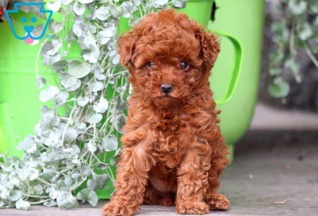 Rosie-Miniature-Poodle-Non-Sporting-AKC-Dog-Breed