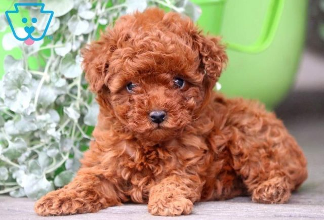 Rosie2-Miniature-Poodle-Non-Sporting-AKC-Dog-Breed