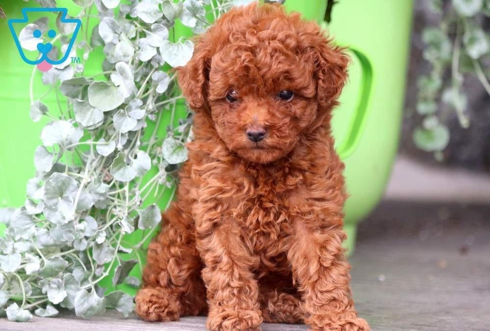 Poodle Puppies For Sale | Texas City, TX #264052 | Petzlover
