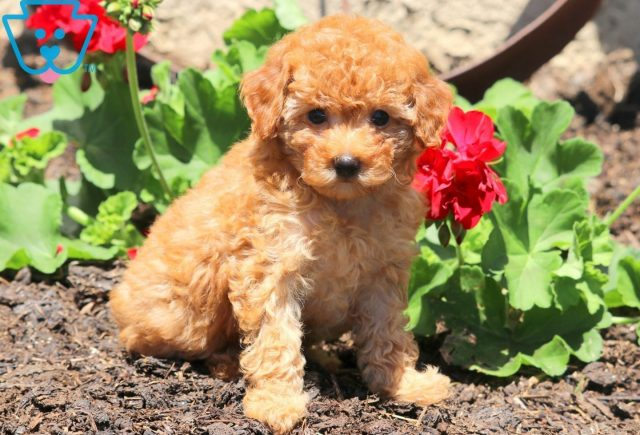 Star Toy Poodle 1