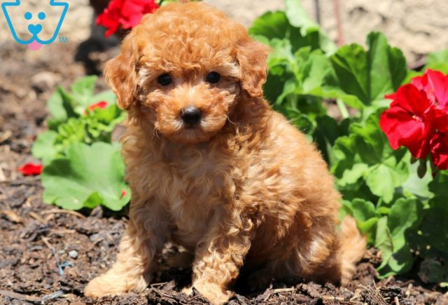 Star Toy Poodle 2