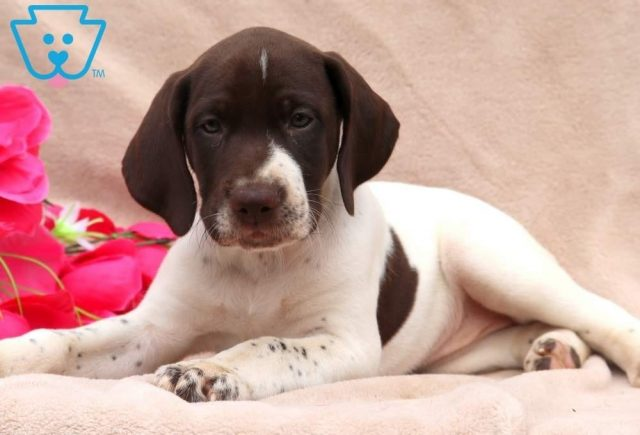 Tilly2-German-Shorthaired-Pointer-Dog-Breed-Sporting-AKC