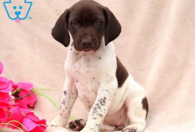 Tinkerbell-German-Shorthaired-Pointer-Dog-Breed-Sporting-AKC