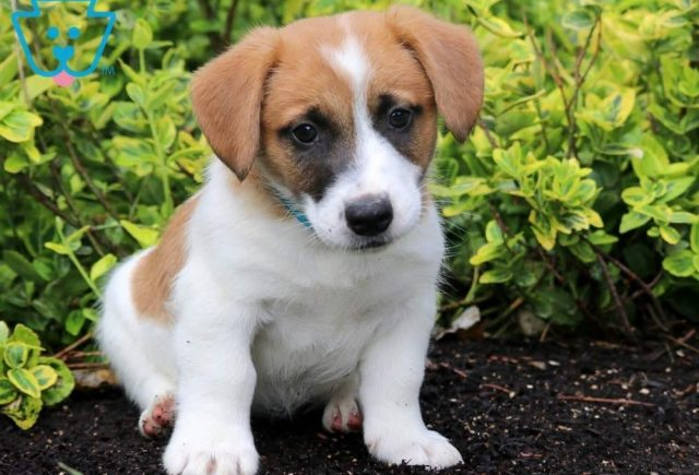 Tom-tom-Jack-Russell-Terrier-AKC-Dog-Breed