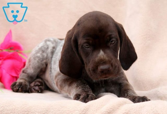 Tonya2-German-Shorthaired-Pointer-Dog-Breed-Sporting-AKC