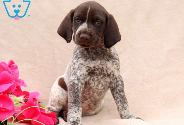 Tootsie-German-Shorthaired-Pointer-Dog-Breed-Sporting-AKC-German-Shorthaired-Pointer-Dog-Breed-Sporting-AKC