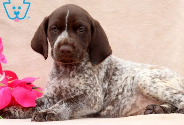 Tootsie2-German-Shorthaired-Pointer-Dog-Breed-Sporting-AKC