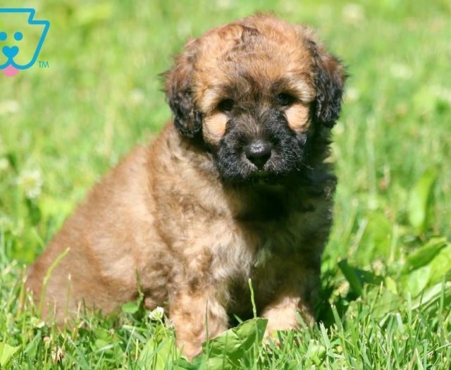 Poodle Mix Puppies For Sale | Puppy Adoption | Keystone Puppies