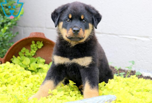 Zoey Rottweiler 3