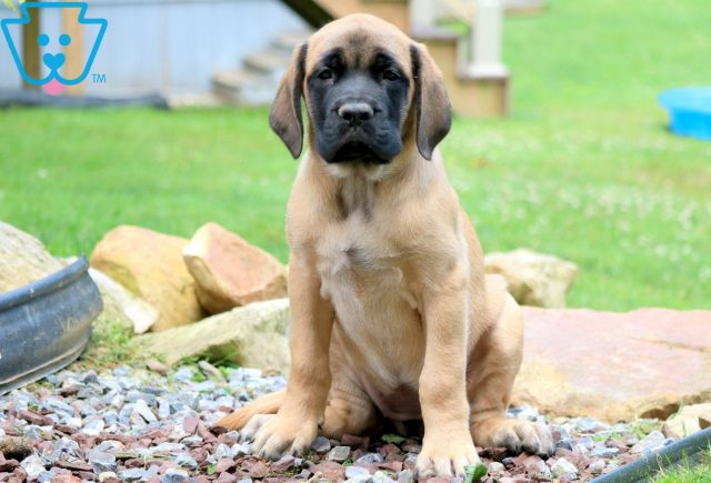 Abby English Mastiff 1