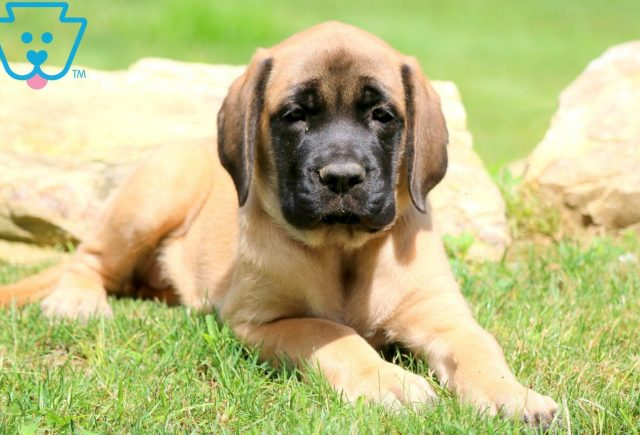Abby English Mastiff 2