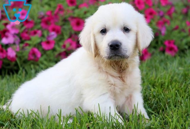 Abe-Golden-Retriever-Sporting-Dog-Breed-AKC-English-Cream