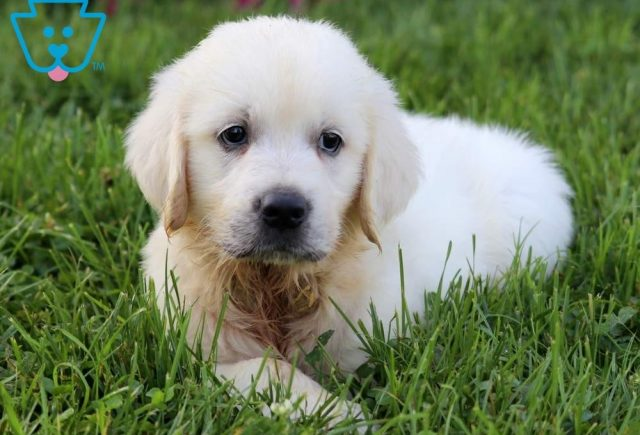 Abe2-Golden-Retriever-Sporting-Dog-Breed-AKC-English-Cream