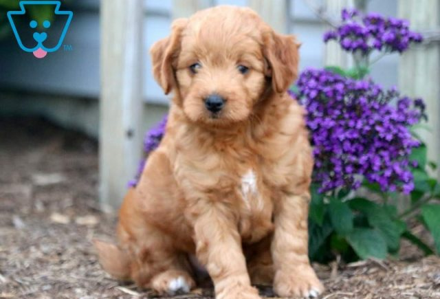 Andy Toy Goldendoodle