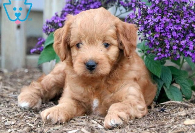 Andy Toy Goldendoodle2