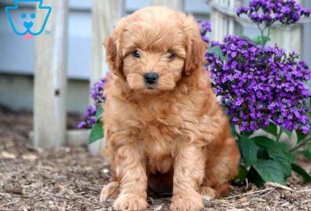 Annie Toy Goldendoodle
