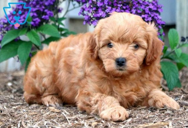 Annie Toy Goldendoodle2