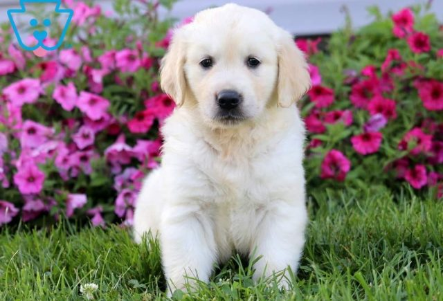 Arty-Golden-Retriever-Sporting-Dog-Breed-AKC-English-Cream