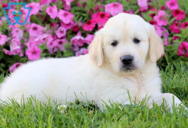 Arty2-Golden-Retriever-Sporting-Dog-Breed-AKC-English-Cream