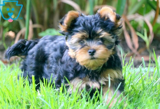 Aster Yorkie 1