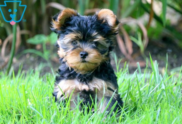Aster Yorkie 3
