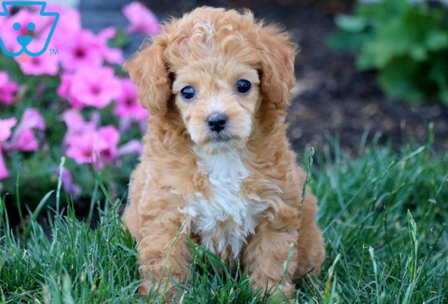 Baby Toy Aussiedoodle 1