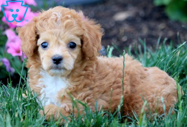 Baby Toy Aussiedoodle 2