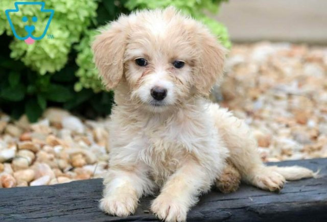 Beauty-Mini-Aussiedoodle-Designer-Breed-Poodle-ACHC-IDCR-ICA