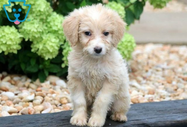 Beauty2-Mini-Aussiedoodle-Designer-Breed-Poodle-ACHC-IDCR-ICA