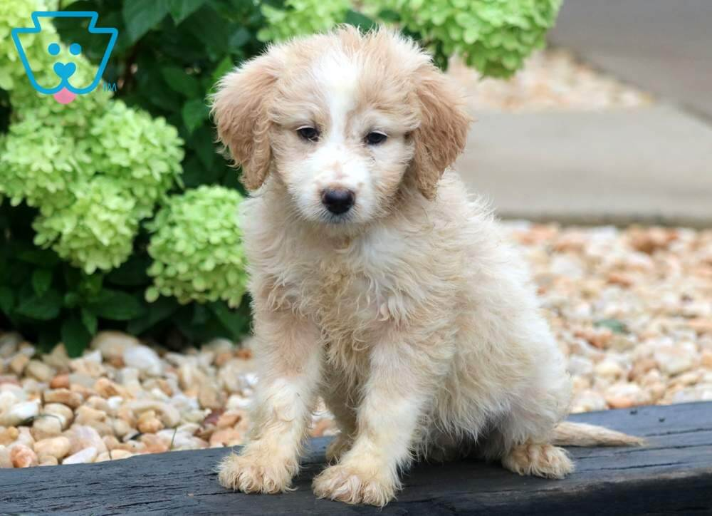 Bella Boo Aussiedoodle Mini Puppy For Sale Keystone Puppies