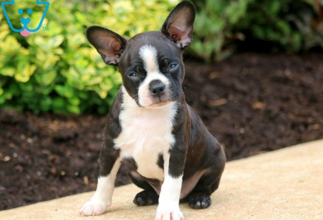 Boss Boston Terrier 1