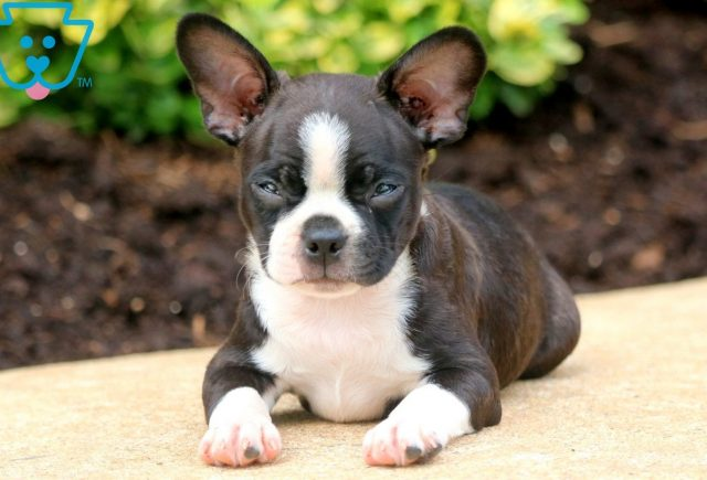 Boss Boston Terrier 2