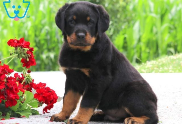 Boss2-Rottweiler-Working-Breed-Dog-AKC