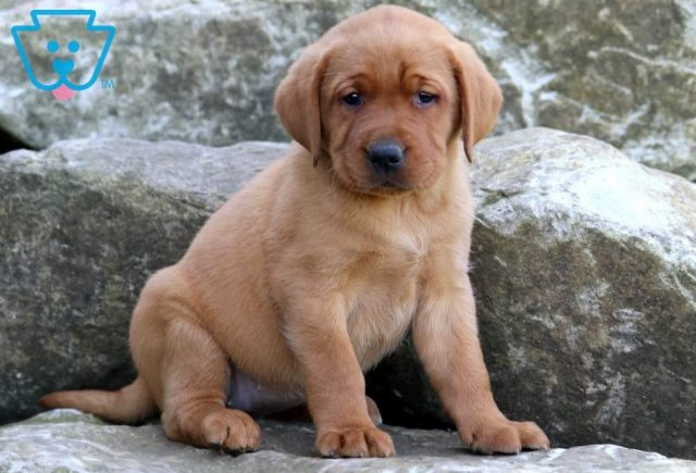 Buttercup-Labrador-Retriever-Sporting-Dog-Breed-AKC-Fox-Red