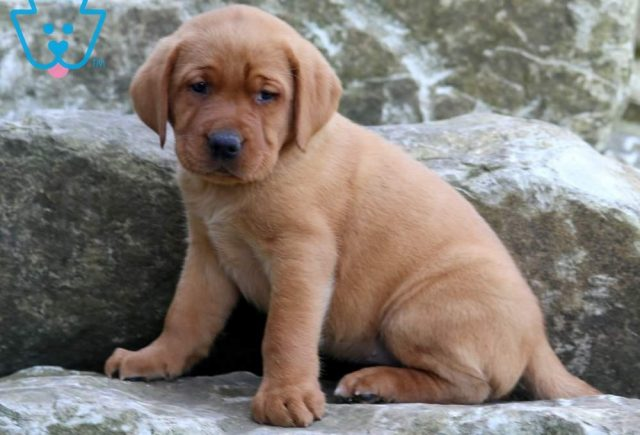 Buttercup2-Labrador-Retriever-Sporting-Dog-Breed-AKC-Fox-Red