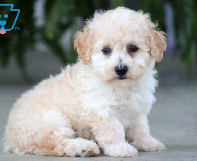 Maltipoo Puppies For Sale | Puppy Adoption | Keystone Puppies