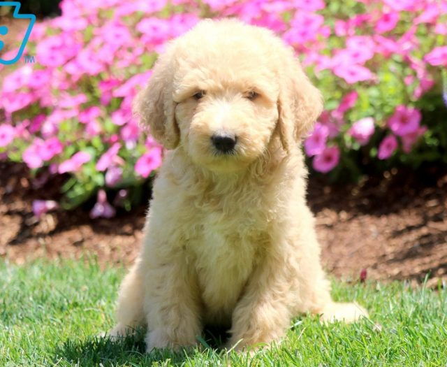 Labradoodle Puppies For Sale | Puppy Adoption | Keystone Puppies