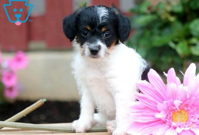 Dixie-Jackapoo-Designer-Breed-Dog-Jack-Russell-Poodle-ACHC-IDCR-ICA
