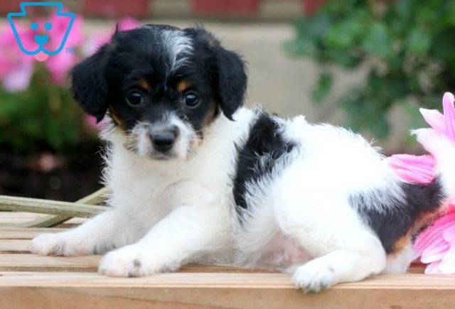 Dixie2-Jackapoo-Designer-Breed-Dog-Jack-Russell-Poodle-ACHC-IDCR-ICA