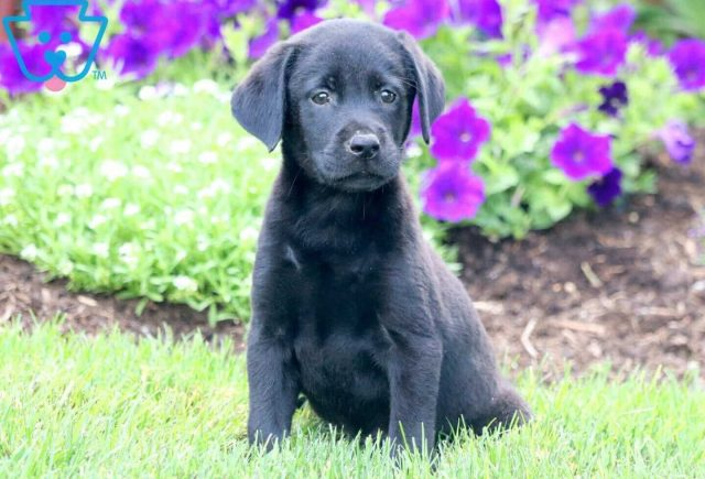 Fifi Black Lab 2