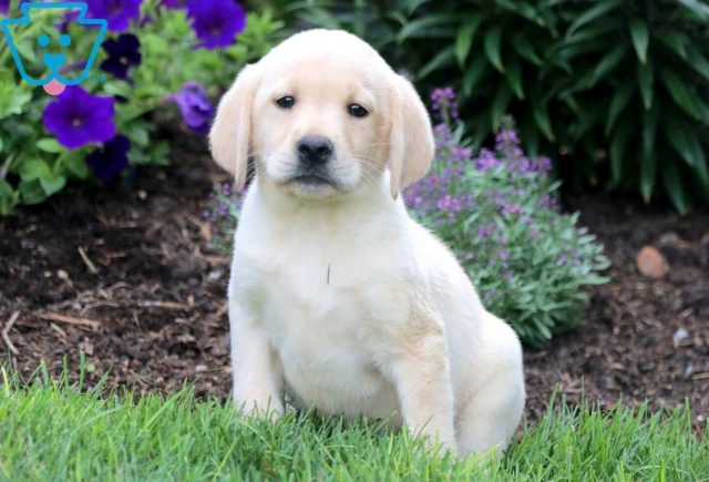 Fluffy Yellow Lab 1
